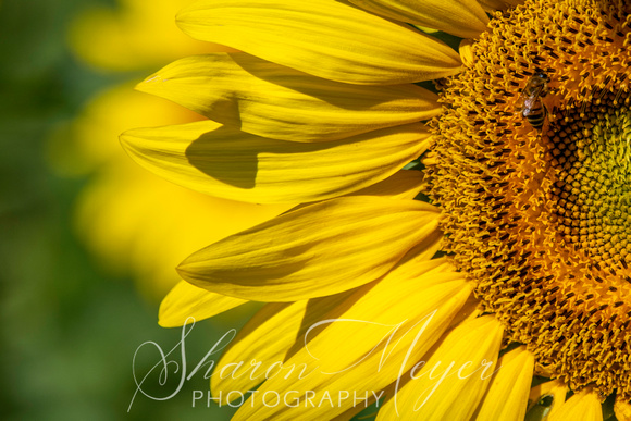 Sunflowers - Cottell Park
